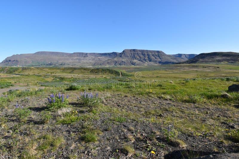 Lupini porpora con una grande montagna nel fondo sul modo al cerchio dorato vicino a Reykjavik in Islanda fotografie stock