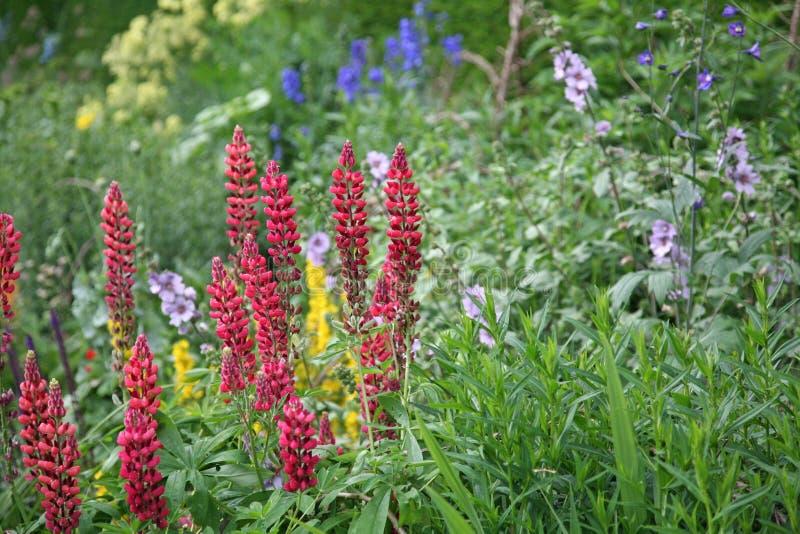Lupini rossi che crescono in un vecchio confine inglese del giardino fotografie stock libere da diritti