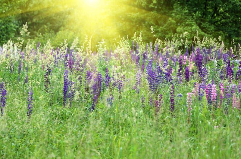 Lupini selvatici e luce solare fotografia stock libera da diritti