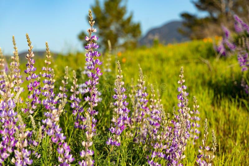 Lupino porpora di fioritura fotografia stock