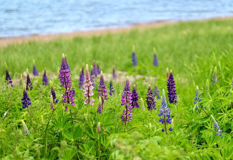 lupins photo stock