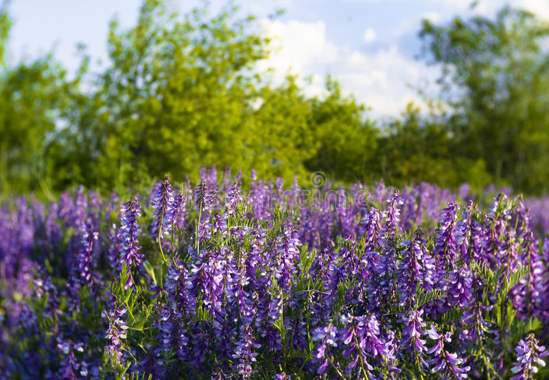 Lupins stock images