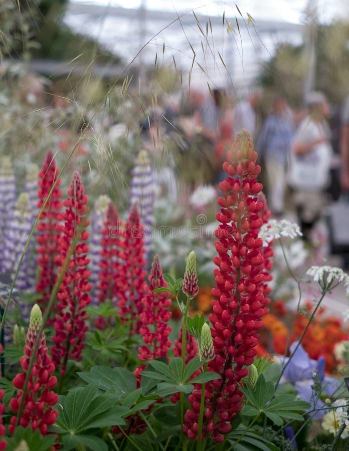 Lupins rouges renversants dans le premier plan chez Chelsea Flower Show, Londres Visiteurs admiratifs brouillés à l'arrière-plan photos libres de droits