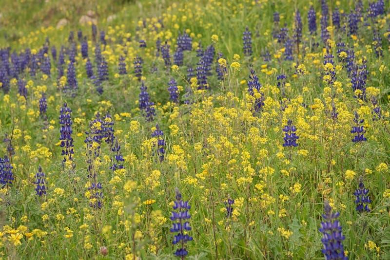 Lupinus, altramuz o lupine y rabina, violación, violación de semilla oleaginosa en Israel Campo de Wildflowers imagen de archivo libre de regalías
