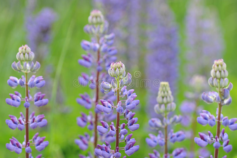 Lupinus, lupine, lupinegebied met roze purple stock afbeeldingen