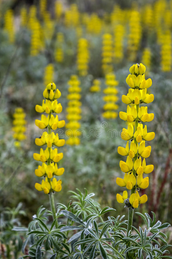 Lupinus luteus, comunly known as annual yellow-lupin. A native plant to the Mediterranean region of Southern Europe. Occurs on mild sandy and volcanic soils in stock images