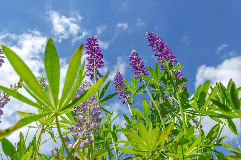 Lupinus in sunny day against a blue sky. Summer meadow in bloom royalty free stock photos