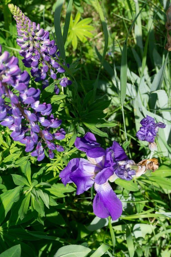 Lupinusen, lupin, lupinefältet med rosa lilor och blått blommar Grupp av bakgrund för lupinessommarblomma royaltyfria foton