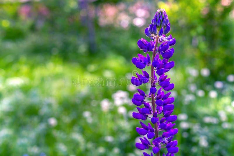 Lupinusfält med den purpurfärgade blomman Solo lupine Violett lupin i äng Lupinus eller lupine blommanärbild med gjort suddig royaltyfri foto