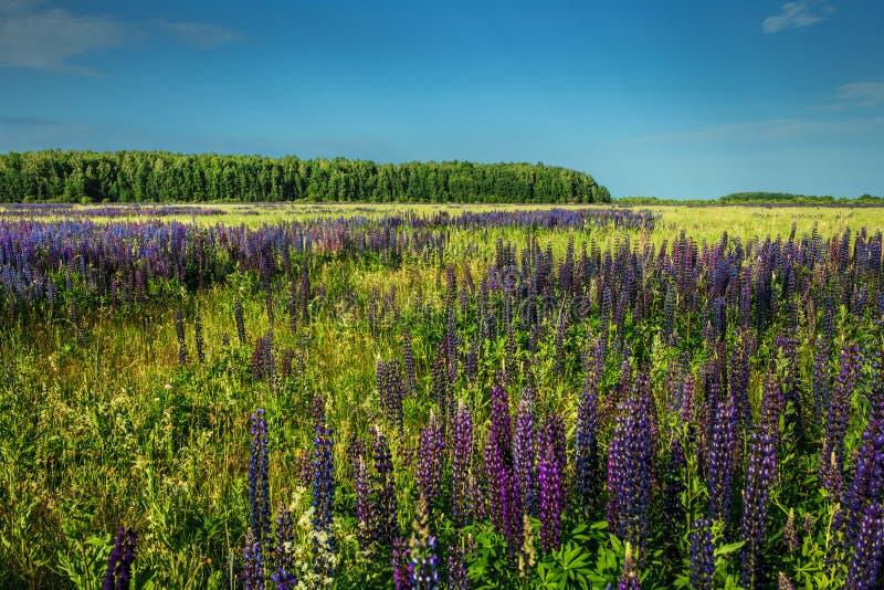 Lupinusfält på det dagliga landskapet royaltyfri foto
