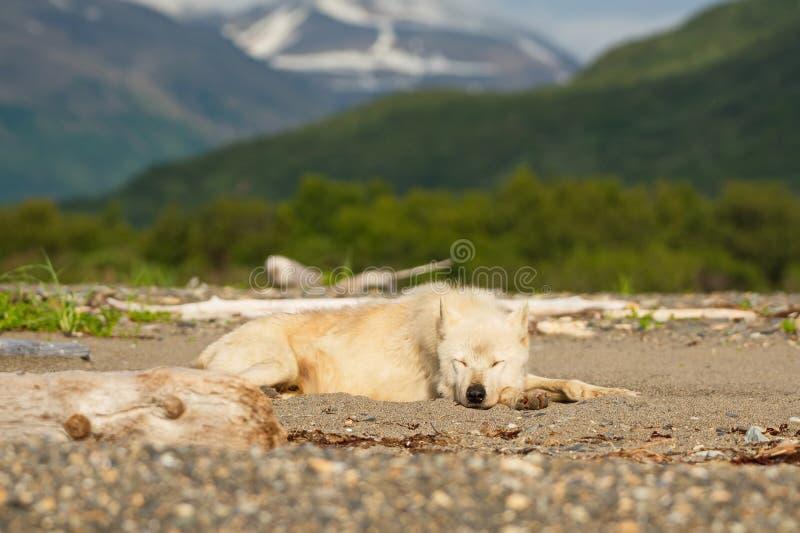 Lupis do Alasca de Gray Wolf Canis imagem de stock royalty free