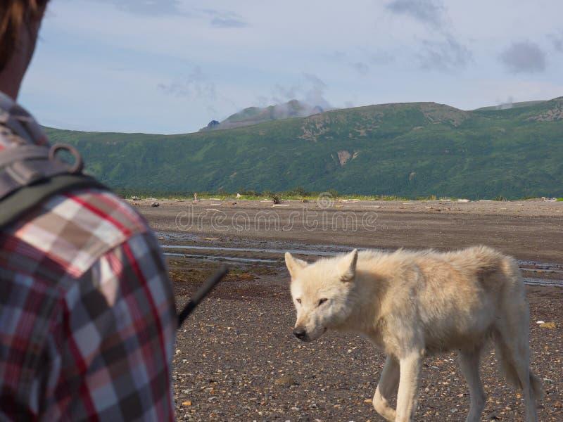 Lupis do Alasca de Gray Wolf Canis fotos de stock royalty free