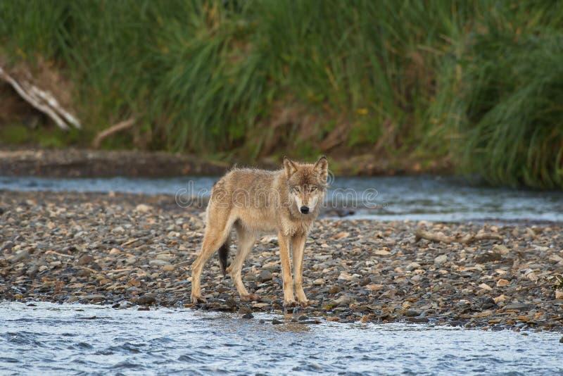 Lupis do Alasca de Gray Wolf Canis imagem de stock
