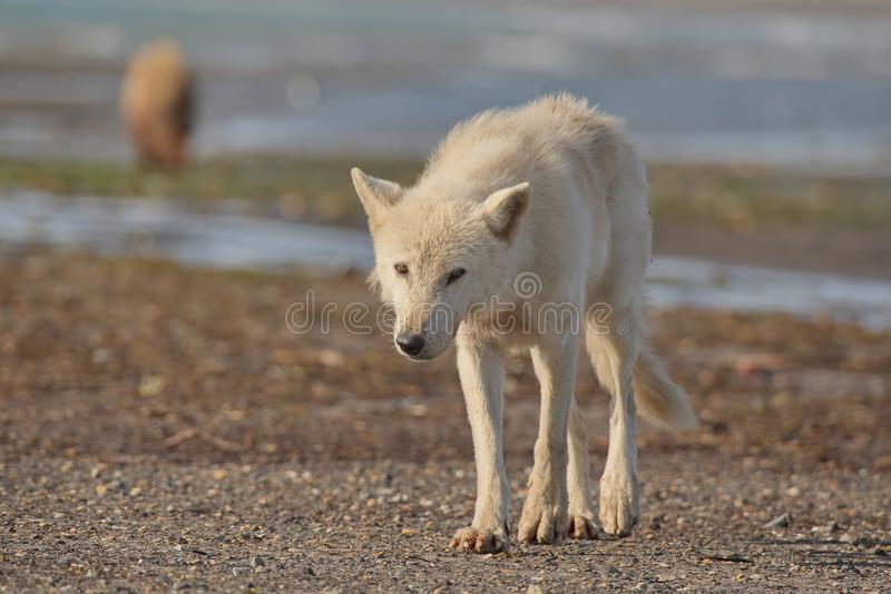 Lupis do Alasca de Gray Wolf Canis fotografia de stock