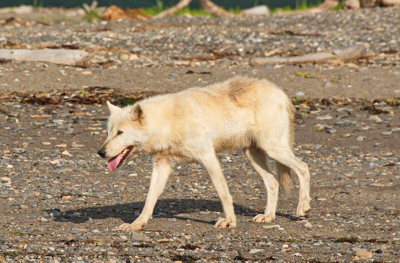 Lupis do Alasca de Gray Wolf Canis foto de stock royalty free
