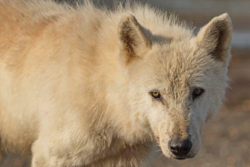 Lupis do Alasca de Gray Wolf Canis fotografia de stock royalty free