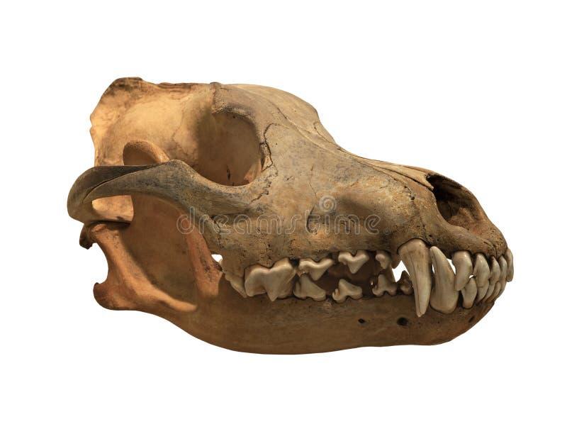Lupo antico del cranio su un fondo bianco, isolato fotografie stock