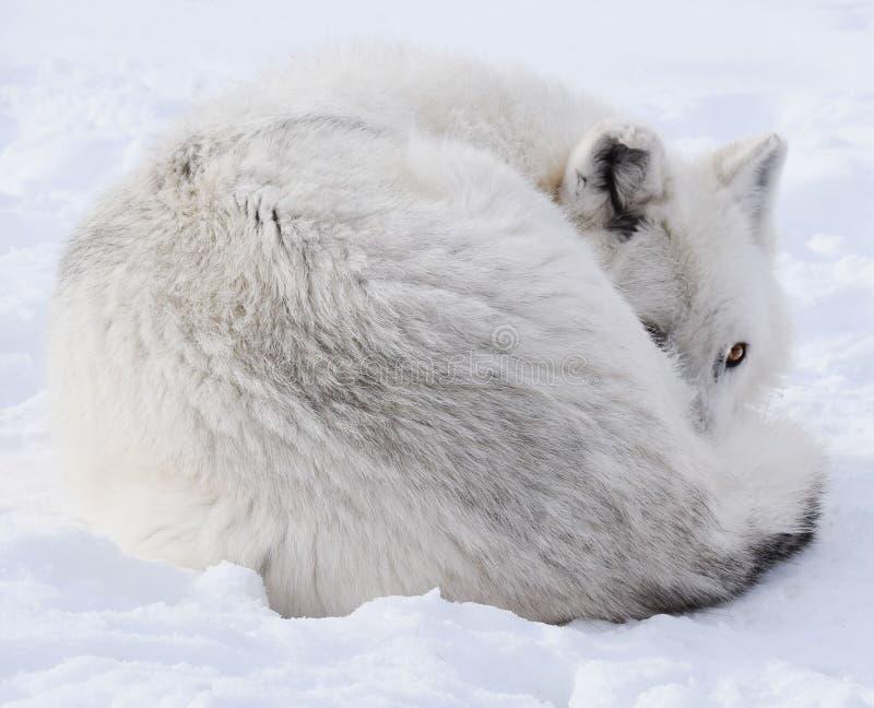Lupo bianco fotografie stock