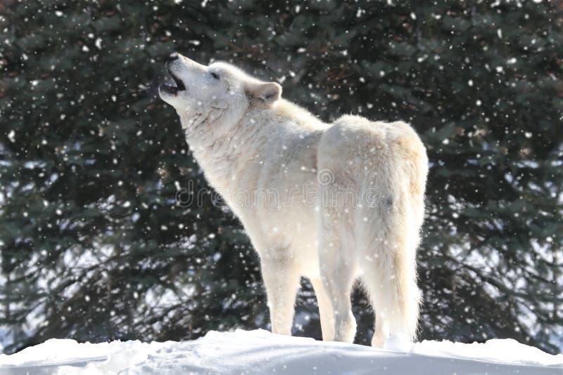 Lupo bianco in neve fotografie stock libere da diritti