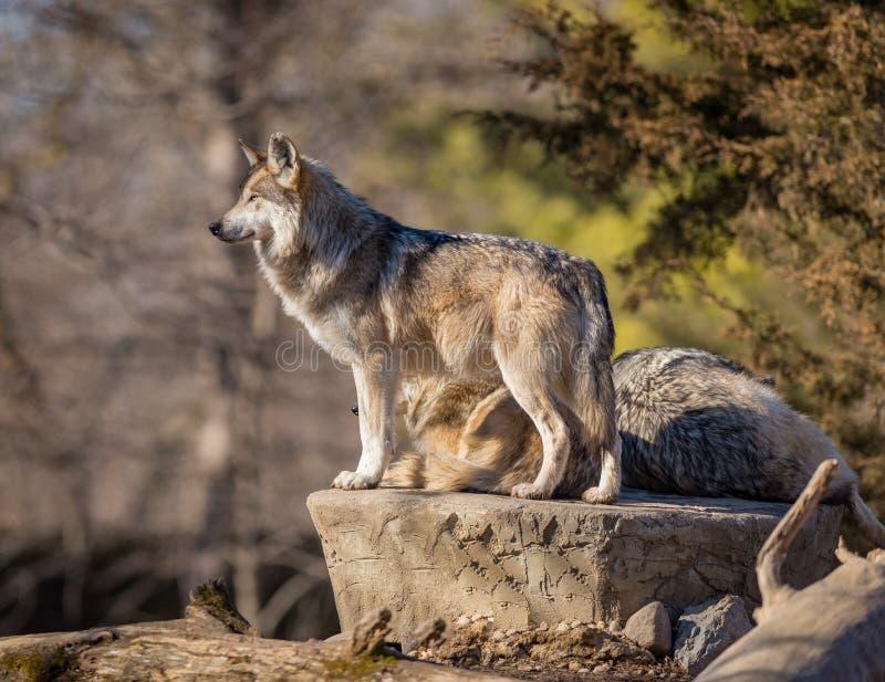 Lupo che esplora l'orizzonte allo zoo di Brookfield fotografia stock libera da diritti
