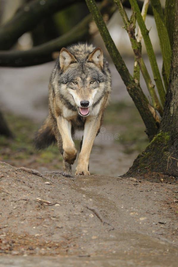 Lupo corrente (lupus di Canis) immagini stock libere da diritti