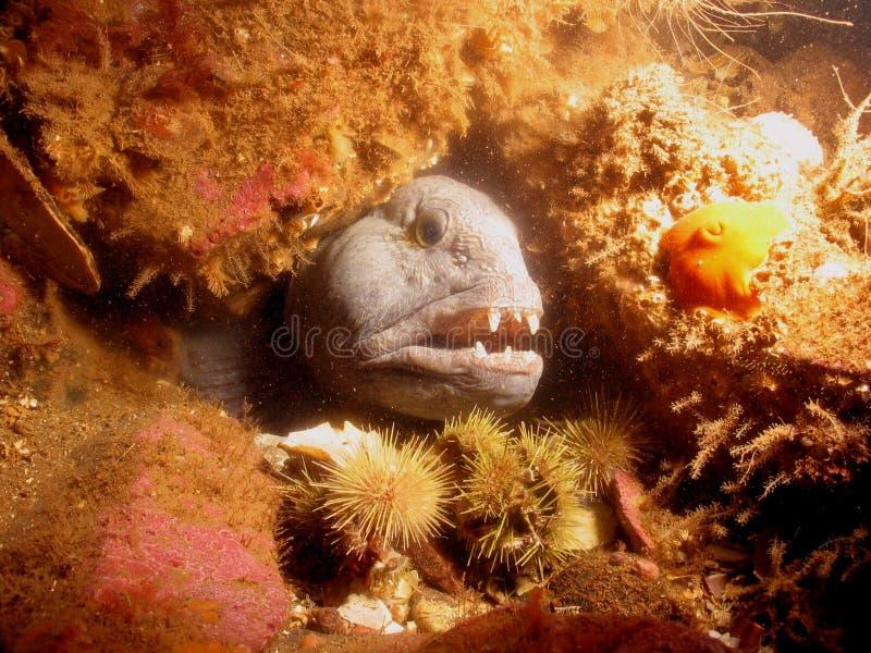 Download Lupo di mare fotografia stock. Immagine di oceano, denti - 220318