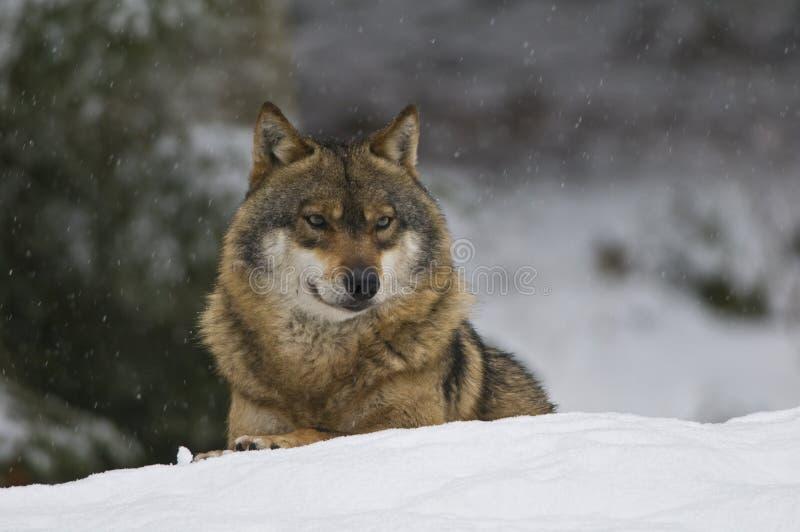 Lupo europeo (lupus di Canis) fotografie stock