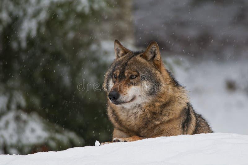 Lupo europeo (lupus di Canis) immagine stock libera da diritti