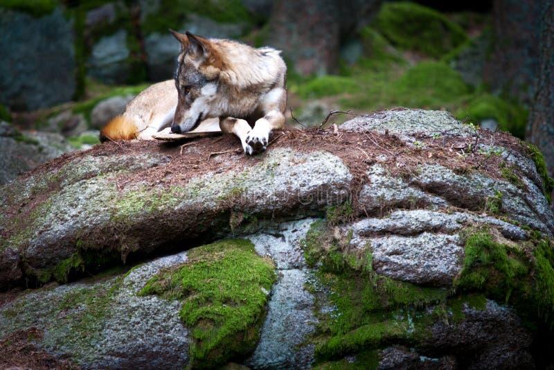 Lupo europeo selvaggio/canis lupus nel legno della Selva Boema, fotografia stock