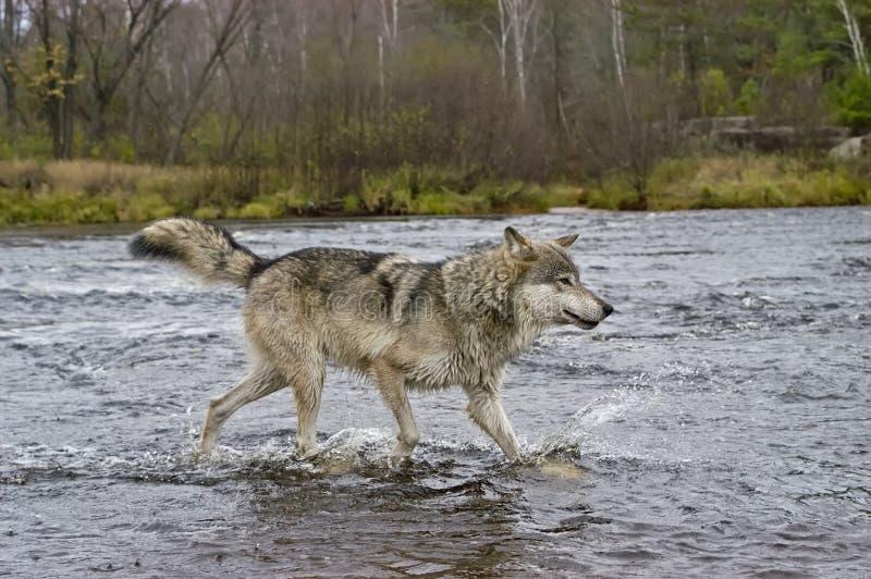 Download Lupo grigio immagine stock. Immagine di grigio, cane, lupo - 7312147