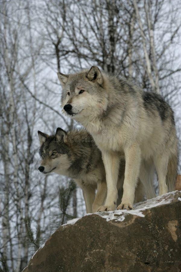 Lupo grigio, canis lupus immagini stock libere da diritti