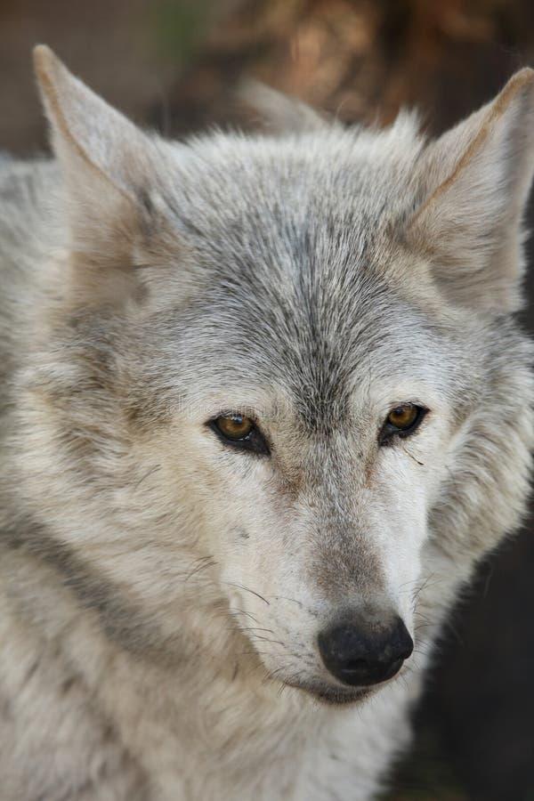 Europeo Grey Wolf fotografie stock