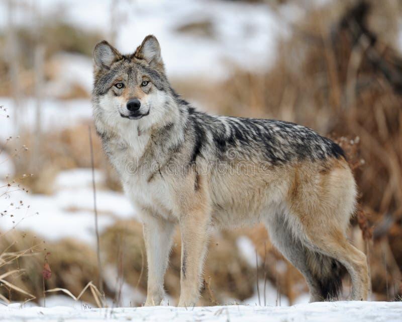 Lupo grigio messicano (baileyi di lupus di Canis) immagini stock libere da diritti