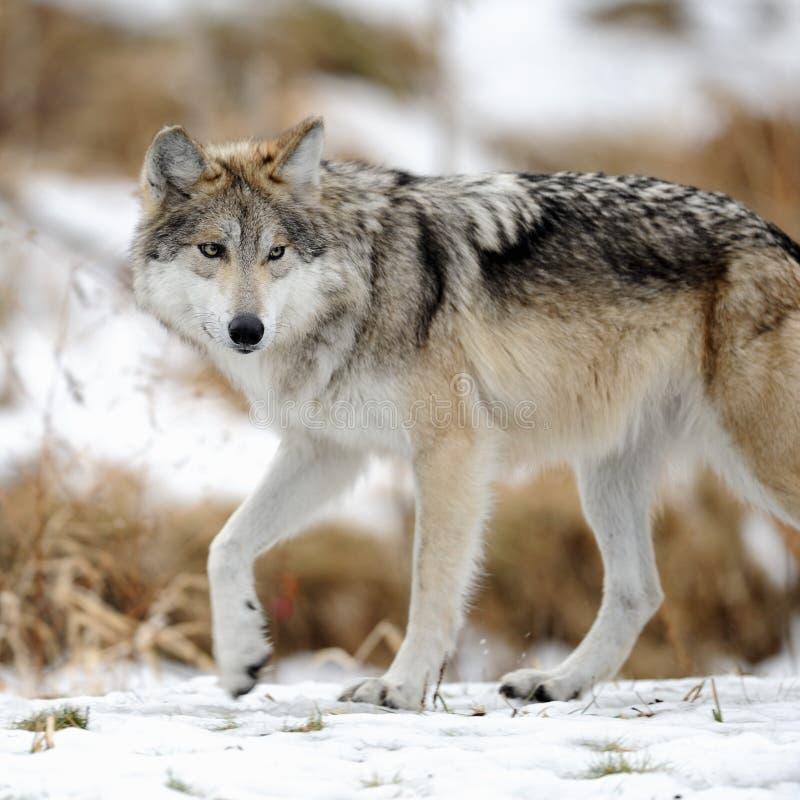 Lupo grigio messicano (baileyi di lupus di Canis) immagine stock libera da diritti