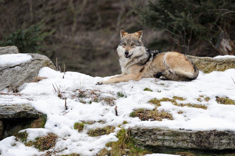 Lupo grigio messicano (baileyi di lupus di Canis) immagine stock