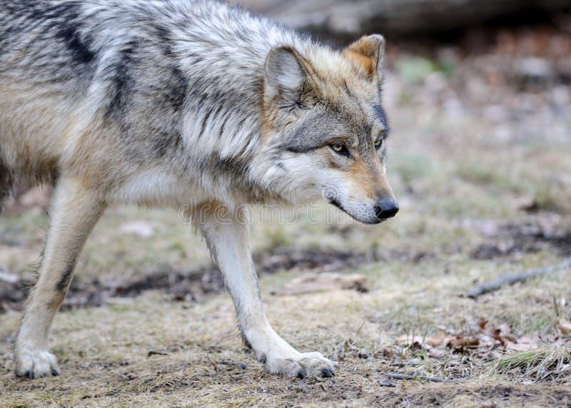 Lupo grigio messicano Prowling fotografie stock