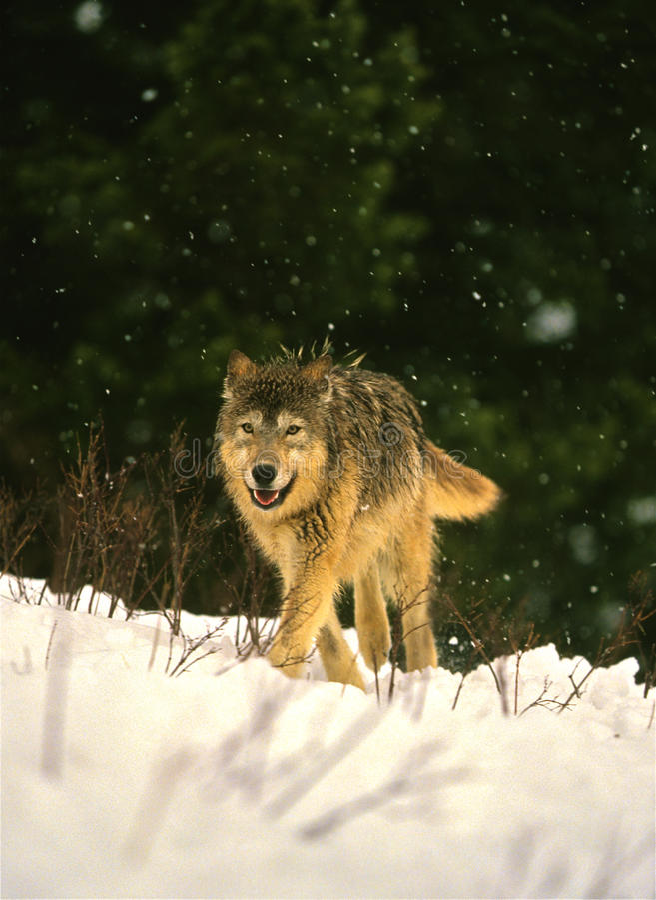Lupo In Inverno Fotografia Stock Libera da Diritti