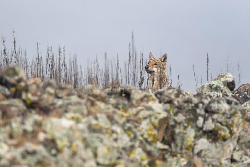 Lupo nella natura selvaggia fotografie stock libere da diritti