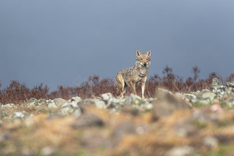 Lupo nella natura selvaggia fotografia stock
