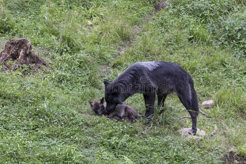Lupo nero femminile che governa il suo piccolo cucciolo immagine stock
