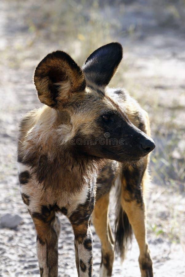 Lupo verniciato dell'Africa fotografie stock libere da diritti