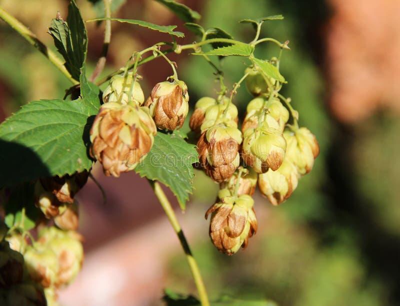 Download Luppolo fotografia stock. Immagine di fioritura, luppoli - 56881142