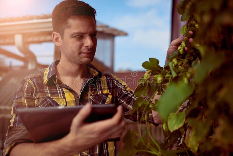 Luppolo di valutazione del giardiniere maschio su un giardino del tetto per produzione organica della birra immagini stock libere da diritti