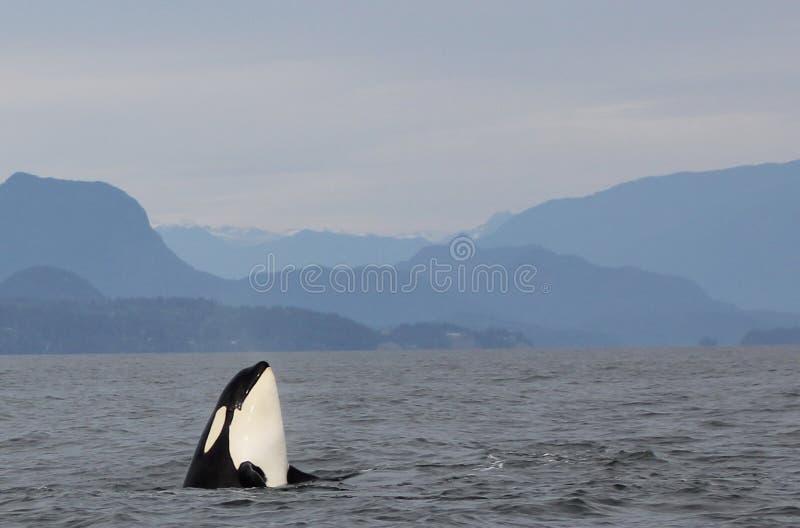 Lupulagem do espião da orca com a vagem das orcas residentes da costa perto de Sechelt, BC fotografia de stock royalty free