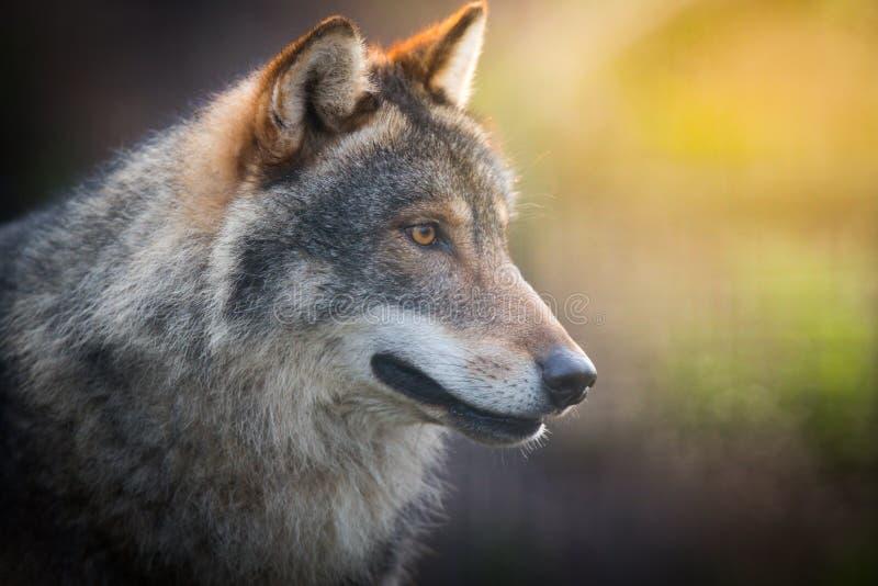 Lupus de Canis gris oscuro asustadizo del lobo foto de archivo