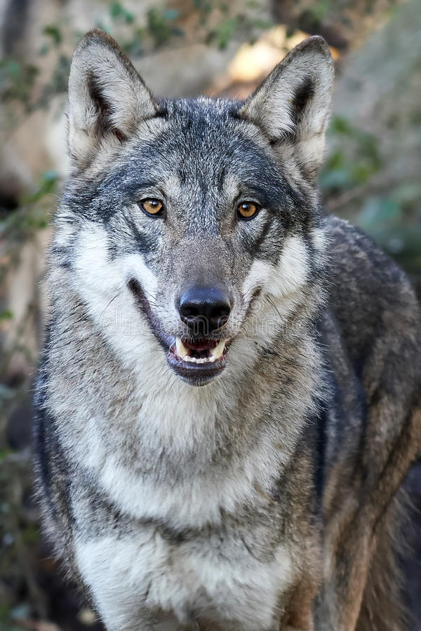 Lupus de Grey Wolf Canis photo stock