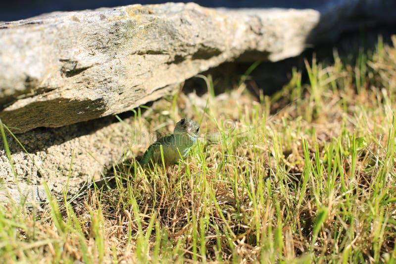 Lura ödlan i fjällängbergen royaltyfri foto