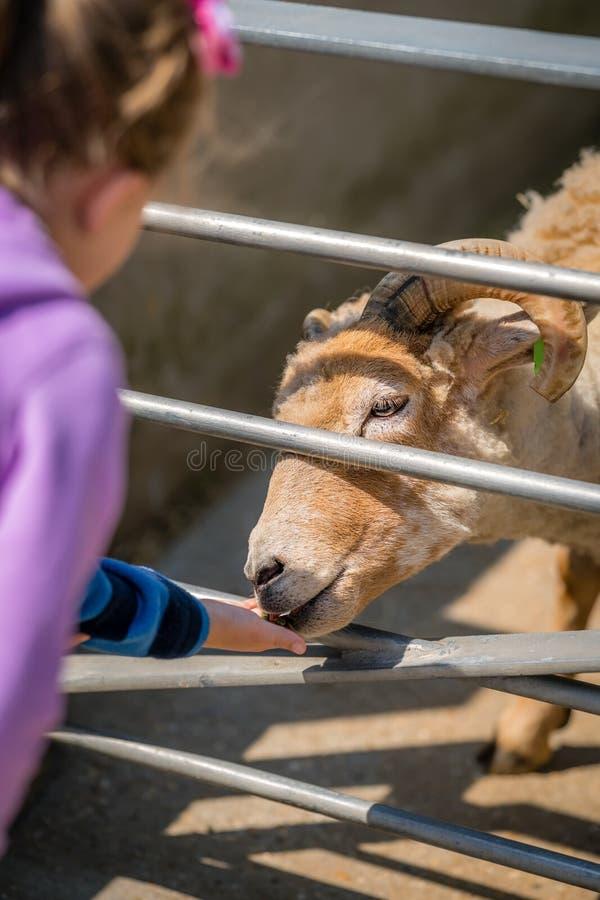 Lurar den matande geten på en lantgård fotografering för bildbyråer