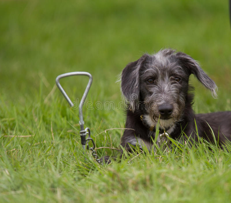 Lurcher Pup attached to a doggy corkscrew stock photos