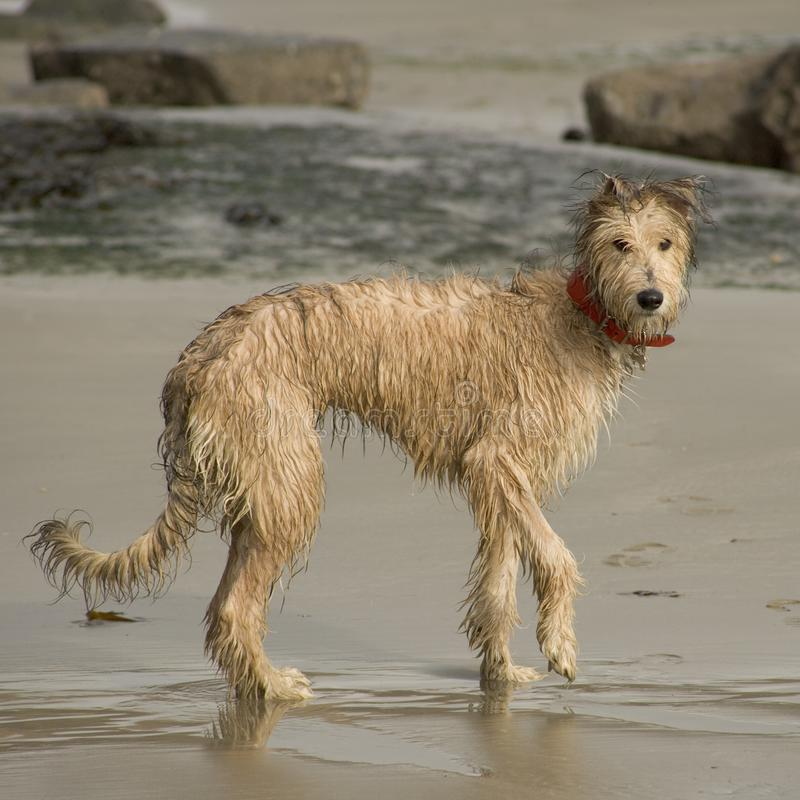Lurcher puppy on beach stock image